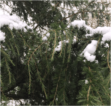 Cedrus deodara branches covered in snow.