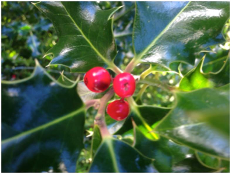 Leaves and berries of Ilex aquifolium (holly).
