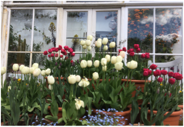 The tulip display on the terrace at Reveley Lodge with pink and white tulips and blue forget-me-nots.
