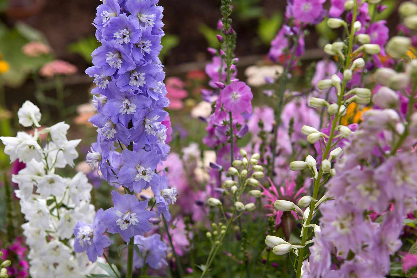 Delphiniums in flower
