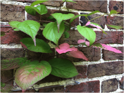Green, pink tipped leaves of Actinidia kolomikta.