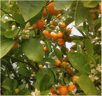 Leaves and fruit of the Calamondin citrus tree in the conservatory at Reveley Lodge.