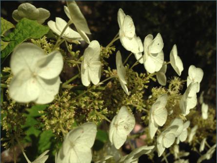 Creamy white flowers of Hydrangea quercifolia.