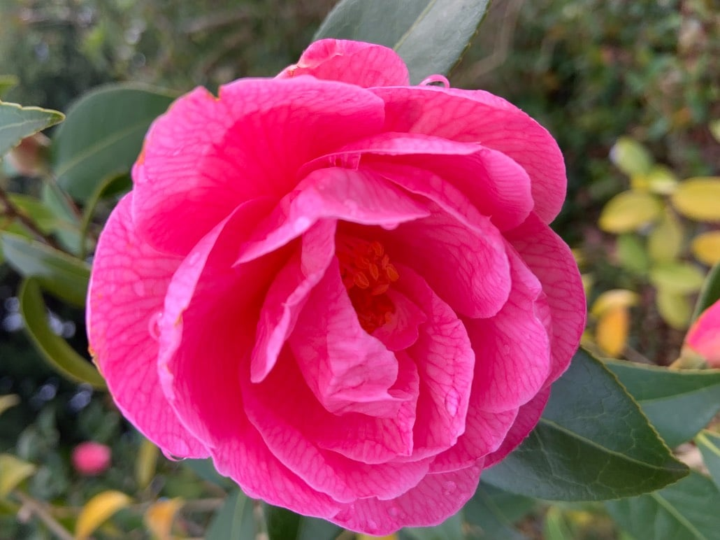 A flower of Camellia 'Donation' which is a pink semi-double Camellia.