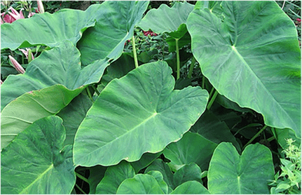 Large leaves of Colocasia esculenta.
