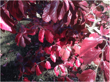 The red autumn leaves of the tree Parrotia persica.
