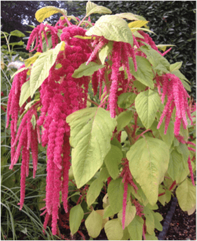 Long red flowers of the Amaranthus plant.