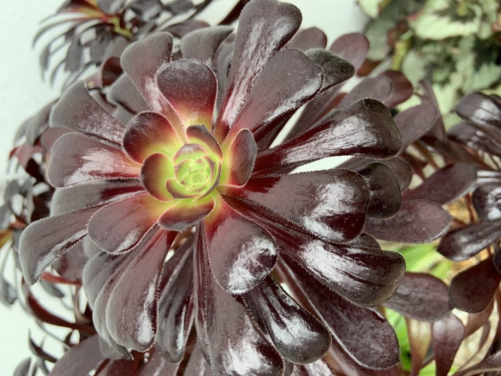 An aeonium plant in the conservatory at Reveley Lodge.