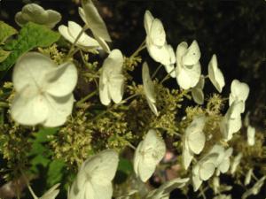 Hydrangea quercifolia flowers