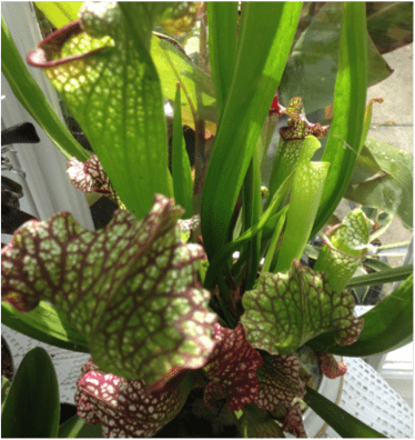 Pitchers of the Sarracenia plant.
