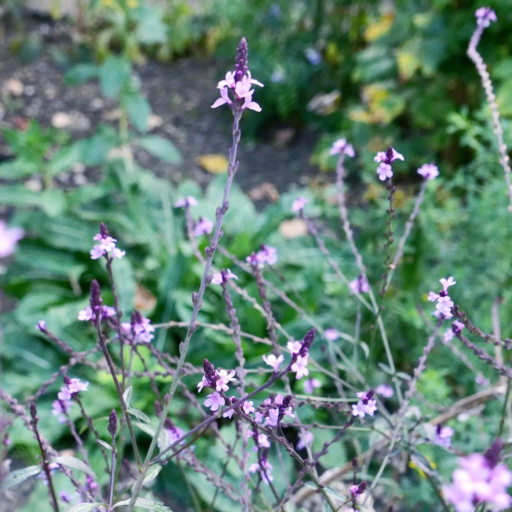 Verbena officinalis grandiflora